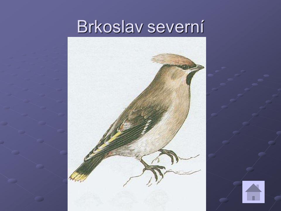 Brkoslav severní