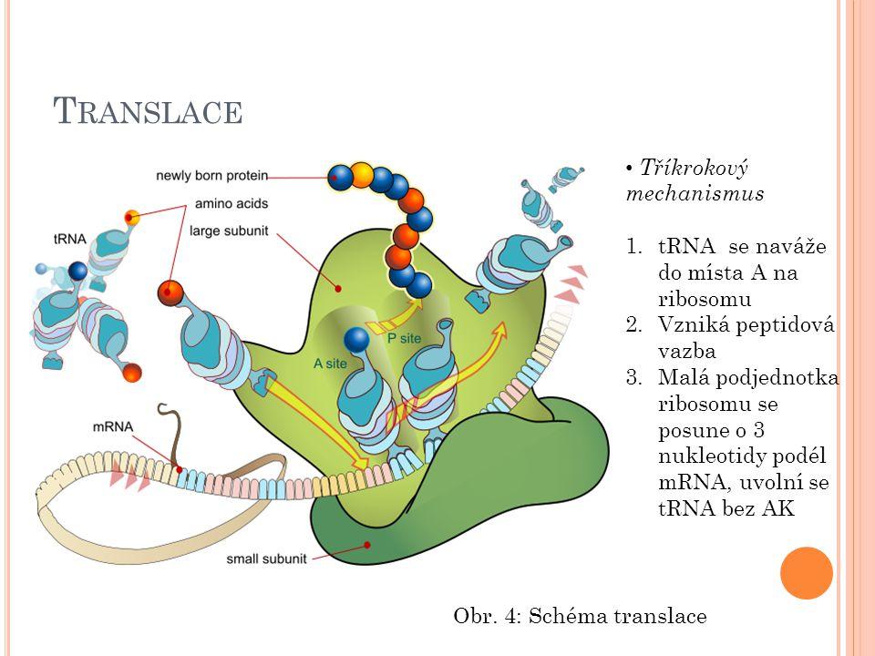 T RANSLACE Tříkrokový mechanismus 1.tRNA se naváže do místa A na ribosomu 2.Vzniká peptidová vazba 3.Malá podjednotka ribosomu se posune o 3 nukleotid