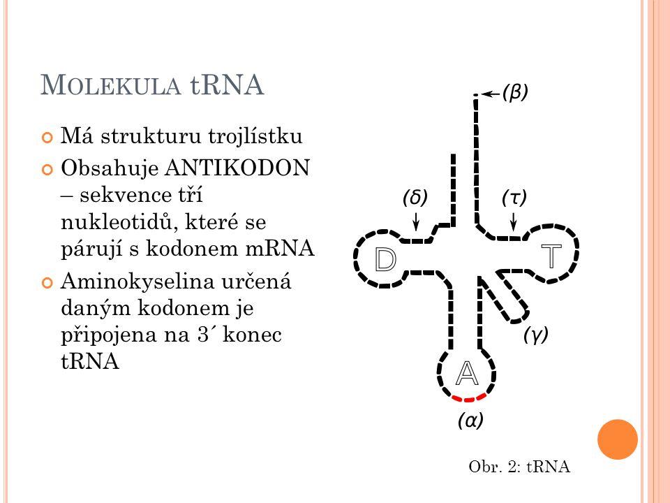 M OLEKULA tRNA Má strukturu trojlístku Obsahuje ANTIKODON – sekvence tří nukleotidů, které se párují s kodonem mRNA Aminokyselina určená daným kodonem
