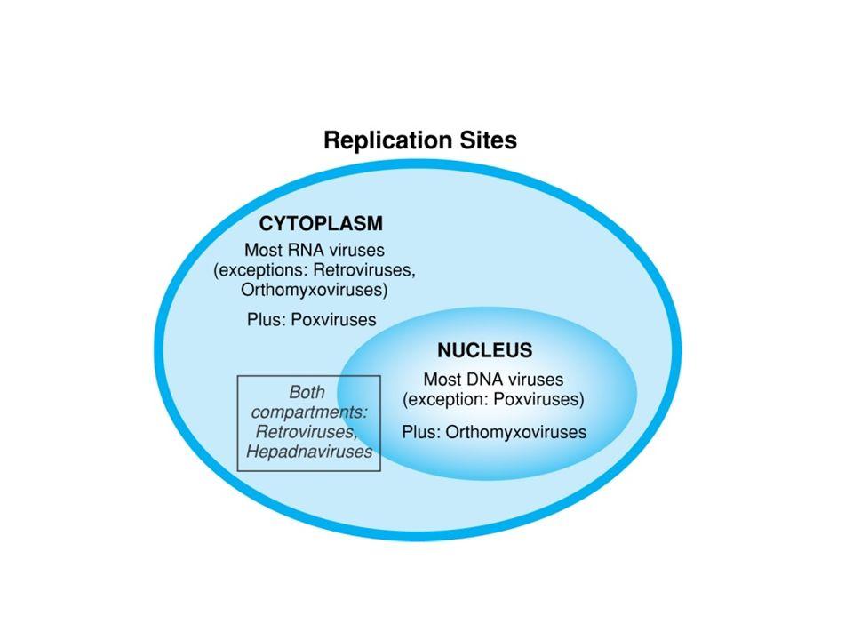 REPRODUKCE VIRŮ: Reprodukční (lytický) cyklus – virus se v buňce namnoží a uvolní se do okolí, horizontální přenos Virogenie (u bakteriofágů jako lyzogenie) – integrace do genomu ( integrovaná NA je provirus), replikace s genomem, vertikální přenos Vlastní reprodukce 1) Uvolnění DNA z kapsidy 2) Syntéza časných proteinů 3) Replikace nukleové kyseliny 4) Syntéza pozdních, hlavně strukturních proteinů 5) Maturace virionů - autoagregace Latence – genom viru je v buňce, ale proteiny se neprodukují Perzistence – genom viru je v buňce a exprimuje se velmi nízká hladina proteinů