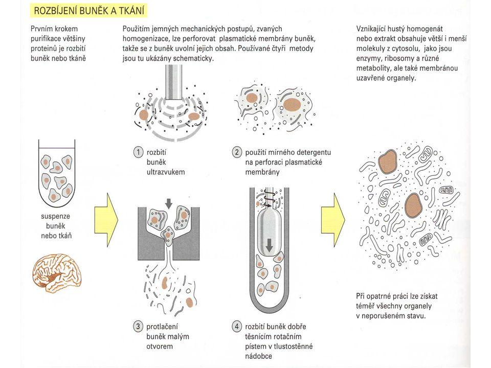 Izolace proteinů  přenos tkáně do zkumavky s  dezintegrace buněk pomocí lyzačního pufru obsahujícího SDS (sodium dodecylsulfát)  oddělení směsi proteinů od nezlyzované tkáně centrifugací  pomocí metody podle Bradfordové  použití BSA (bovine serum albumine = hovězí sérový albumin) jako standardu nezbytného pro vytvoření kalibrační křivky Stanovení koncentrace proteinů Pracovní postup: