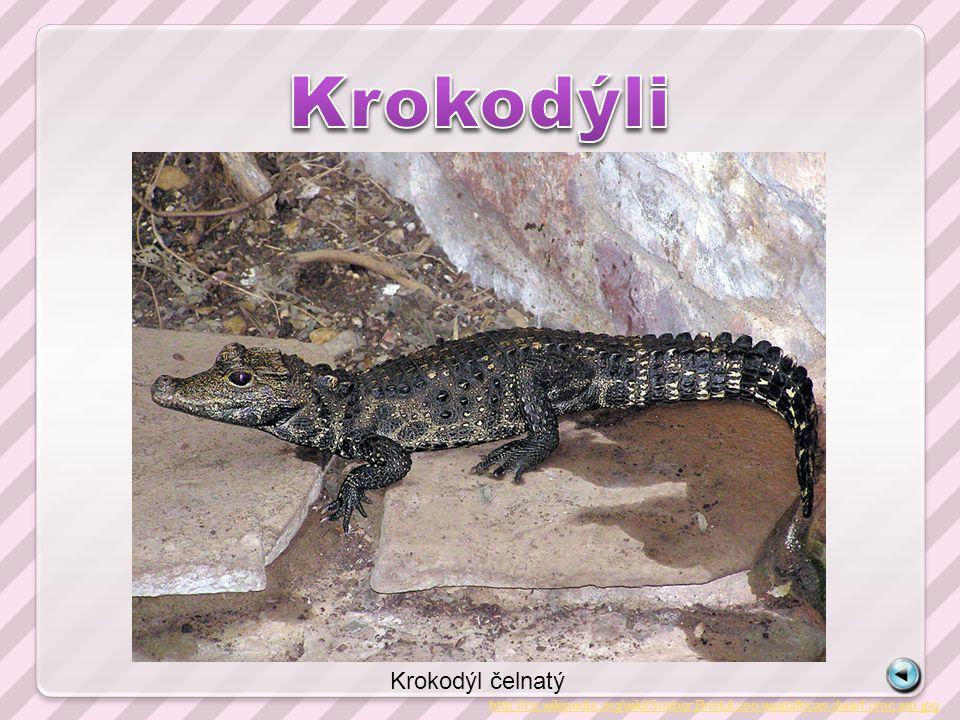 http://cs.wikipedia.org/wiki/Soubor:Bristol.zoo.westafrican.dwarf.croc.arp.jpg Krokodýl čelnatý