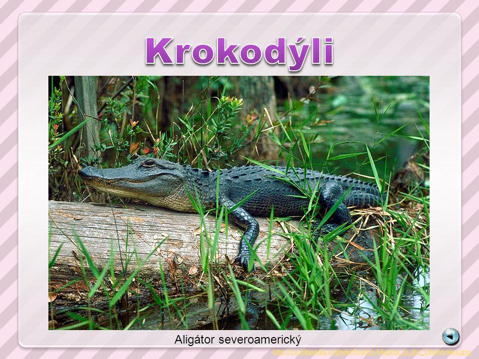 http://cs.wikipedia.org/wiki/Soubor:Alligator_in_the_Okefenokee.jpg Aligátor severoamerický