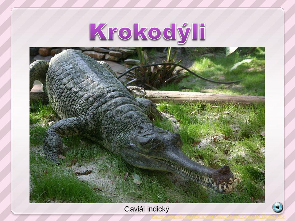 http://cs.wikipedia.org/wiki/Soubor:Indian_Gharial_Crocodile_Digon3.JPG Gaviál indický
