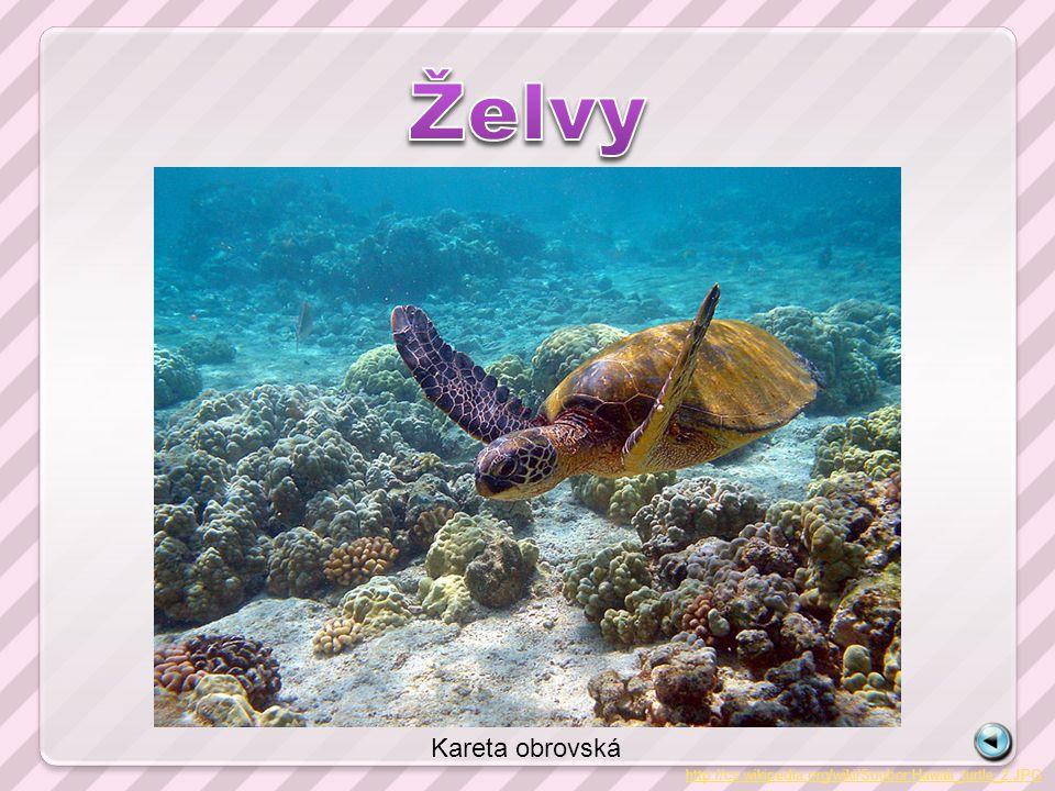 http://cs.wikipedia.org/wiki/Soubor:Hawaii_turtle_2.JPG Kareta obrovská