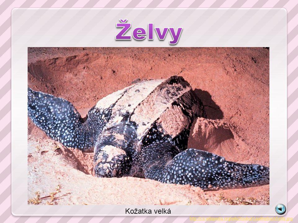http://cs.wikipedia.org/wiki/Soubor:LeatherbackTurtle.jpg Kožatka velká