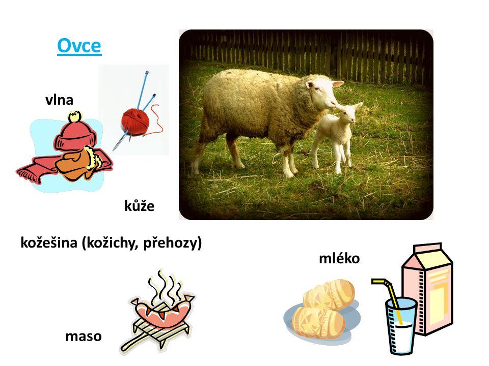 Ovce vlna kůže kožešina (kožichy, přehozy) maso mléko