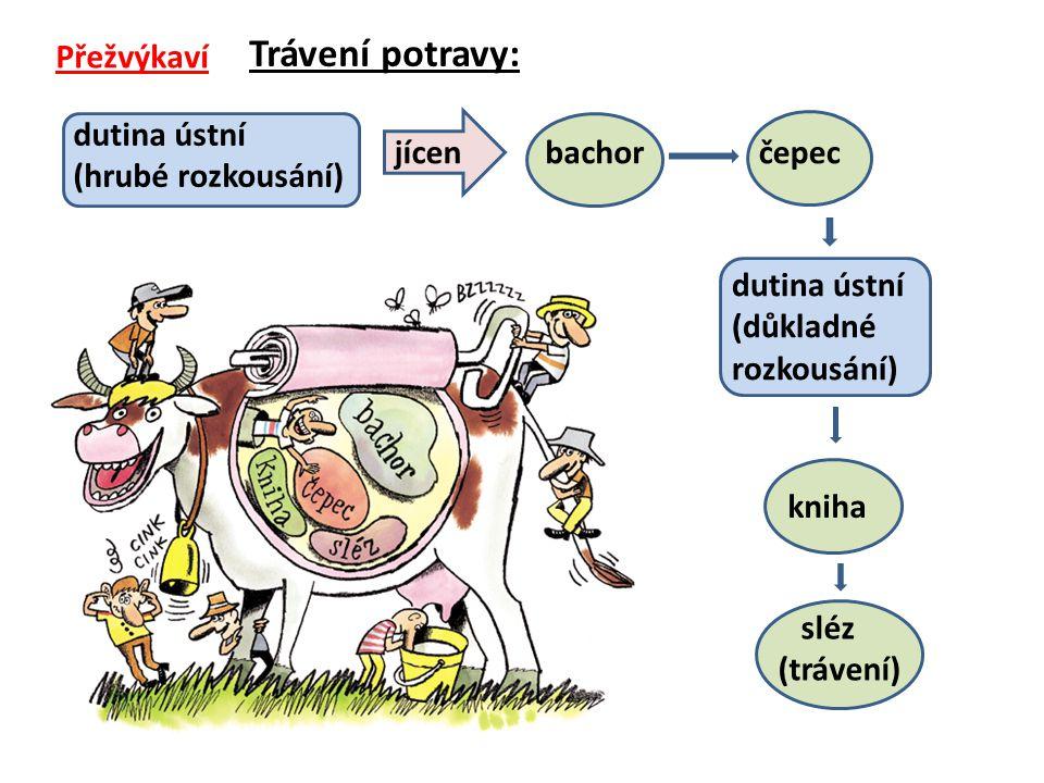 Přežvýkaví Trávení potravy: dutina ústní (hrubé rozkousání) jícenbachorčepec dutina ústní (důkladné rozkousání) kniha sléz (trávení)