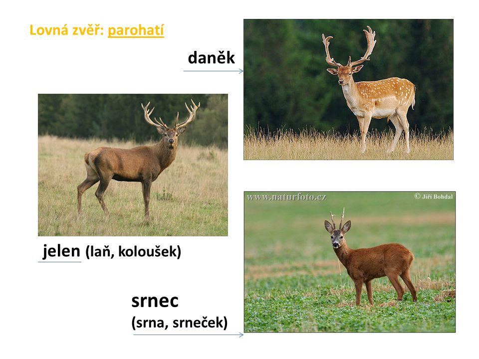 Lovná zvěř: parohatí jelen (laň, koloušek) daněk srnec (srna, srneček)