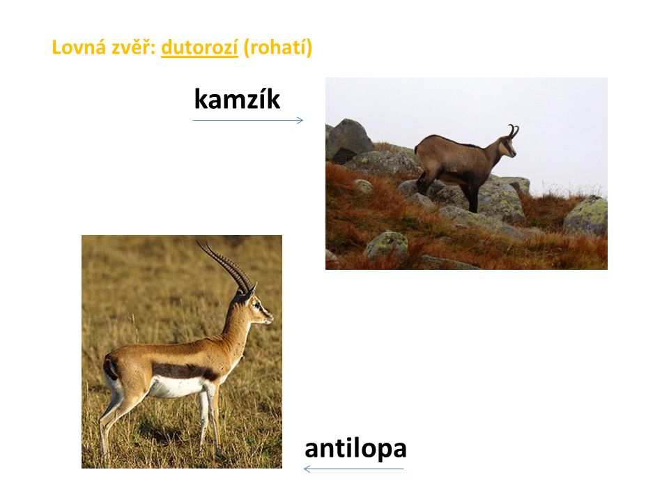 Lovná zvěř: dutorozí (rohatí) antilopa kamzík