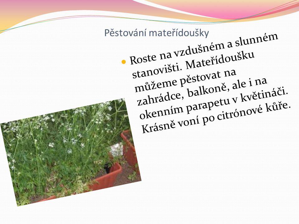 Pěstování mateřídoušky Roste na vzdušném a slunném stanovišti.