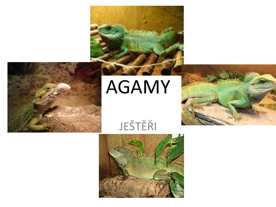 AGAMY Známe přes 300 druhů, rozdělených do 34 rodů.