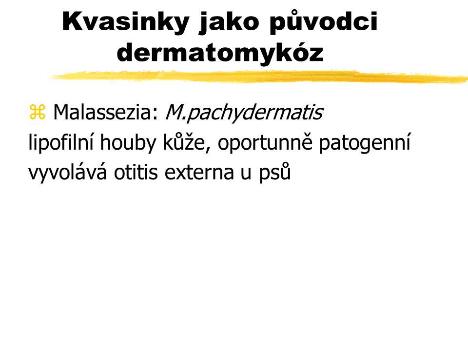 Kvasinky jako původci dermatomykóz z Malassezia: M.pachydermatis lipofilní houby kůže, oportunně patogenní vyvolává otitis externa u psů