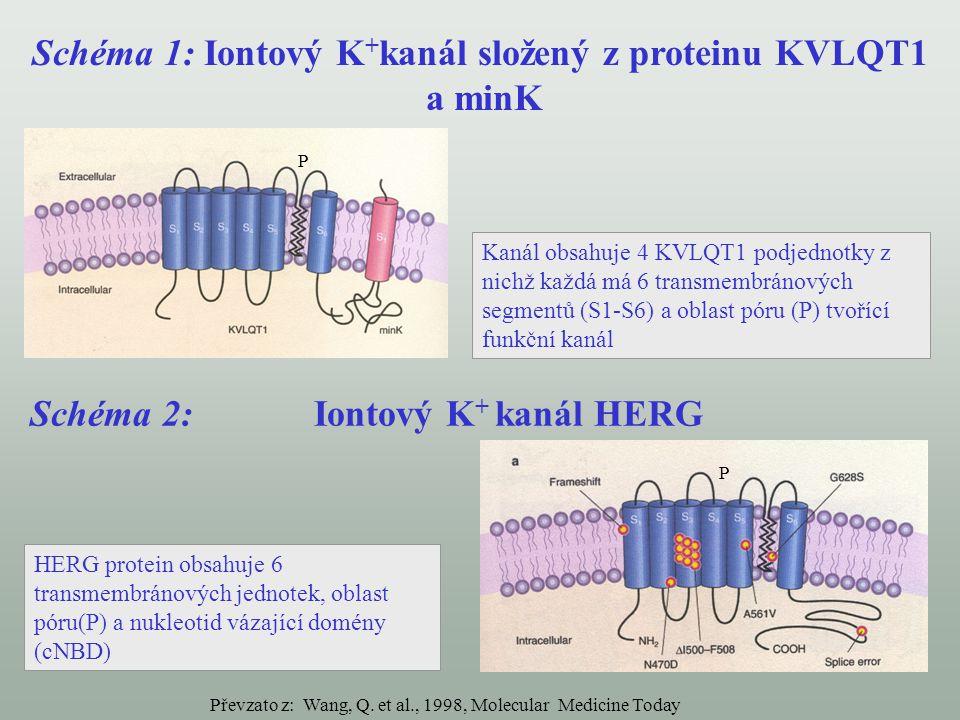 Schéma 1: Iontový K + kanál složený z proteinu KVLQT1 a minK Schéma 2: Iontový K + kanál HERG Kanál obsahuje 4 KVLQT1 podjednotky z nichž každá má 6 t