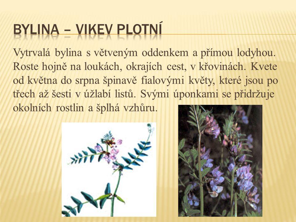 Vytrvalá bylina s větveným oddenkem a přímou lodyhou. Roste hojně na loukách, okrajích cest, v křovinách. Kvete od května do srpna špinavě fialovými k