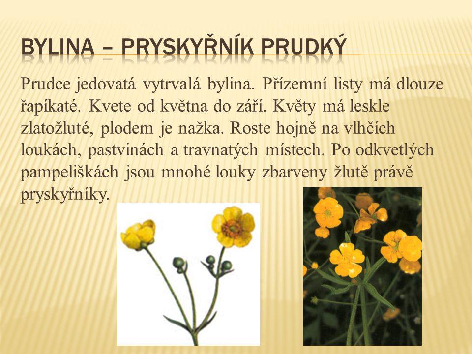 Prudce jedovatá vytrvalá bylina. Přízemní listy má dlouze řapíkaté. Kvete od května do září. Květy má leskle zlatožluté, plodem je nažka. Roste hojně