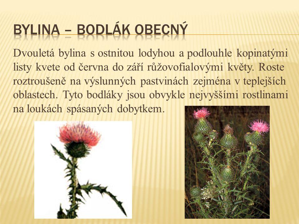 Dvouletá bylina s ostnitou lodyhou a podlouhle kopinatými listy kvete od června do září růžovofialovými květy. Roste roztroušeně na výslunných pastvin