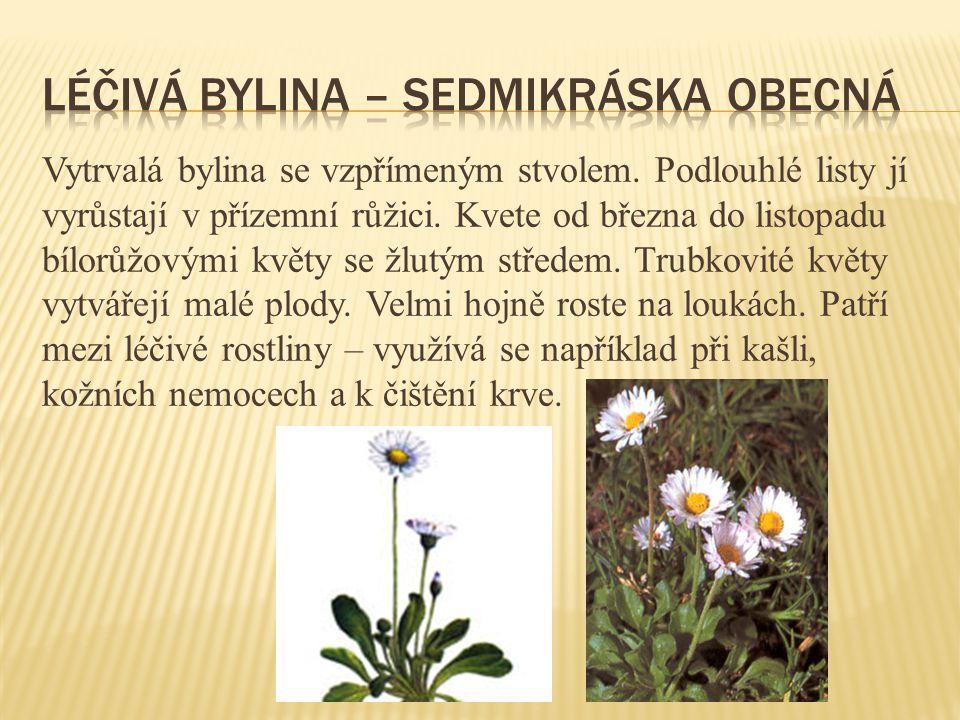Vytrvalá bylina se vzpřímeným stvolem. Podlouhlé listy jí vyrůstají v přízemní růžici. Kvete od března do listopadu bílorůžovými květy se žlutým střed