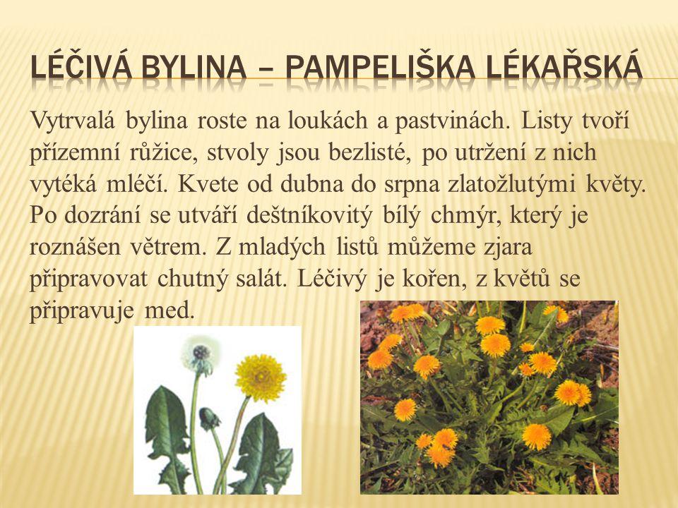 Vytrvalá bylina roste na loukách a pastvinách. Listy tvoří přízemní růžice, stvoly jsou bezlisté, po utržení z nich vytéká mléčí. Kvete od dubna do sr