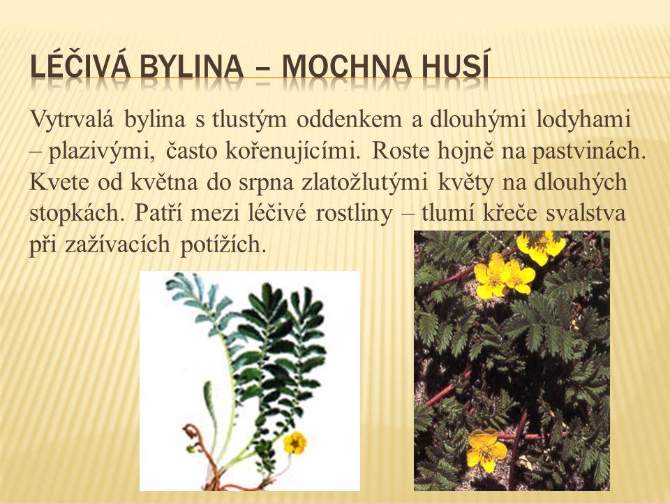 Vytrvalá bylina s tlustým oddenkem a dlouhými lodyhami – plazivými, často kořenujícími. Roste hojně na pastvinách. Kvete od května do srpna zlatožlutý