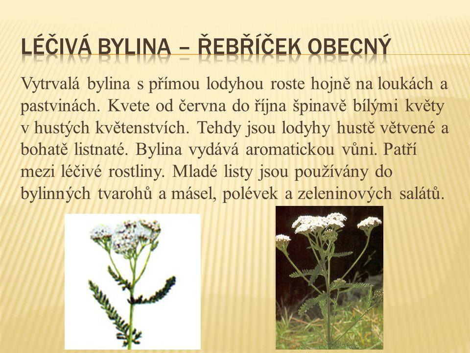 Vytrvalá bylina s přímou lodyhou roste hojně na loukách a pastvinách. Kvete od června do října špinavě bílými květy v hustých květenstvích. Tehdy jsou