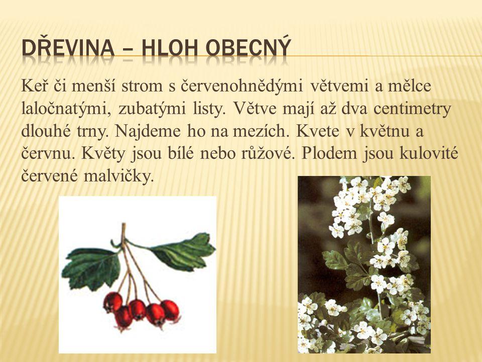 Keř či menší strom s červenohnědými větvemi a mělce laločnatými, zubatými listy. Větve mají až dva centimetry dlouhé trny. Najdeme ho na mezích. Kvete