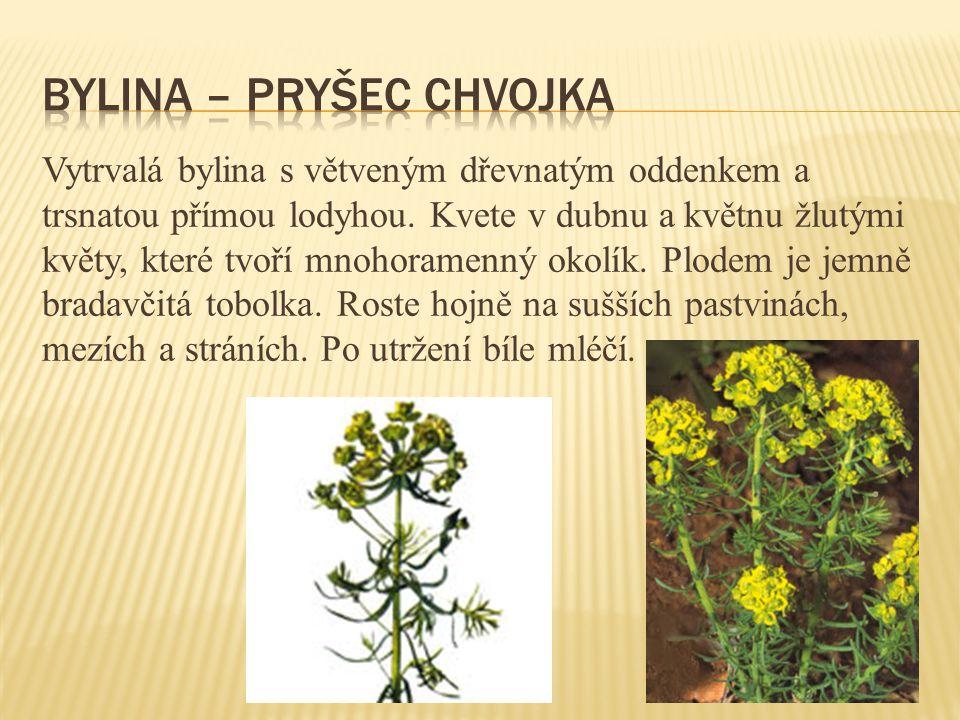 Vytrvalá bylina s větveným dřevnatým oddenkem a trsnatou přímou lodyhou. Kvete v dubnu a květnu žlutými květy, které tvoří mnohoramenný okolík. Plodem