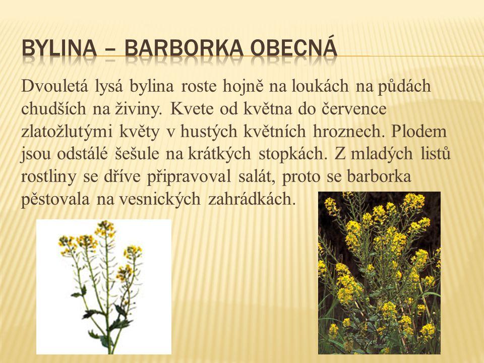 Dvouletá lysá bylina roste hojně na loukách na půdách chudších na živiny. Kvete od května do července zlatožlutými květy v hustých květních hroznech.