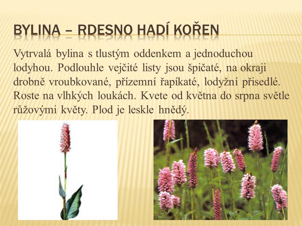 Vytrvalá bylina s tlustým oddenkem a jednoduchou lodyhou. Podlouhle vejčité listy jsou špičaté, na okraji drobně vroubkované, přízemní řapíkaté, lodyž