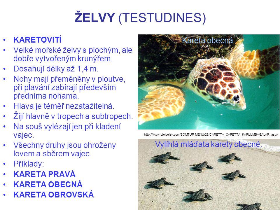 ŽELVY (TESTUDINES) KARETOVITÍ Velké mořské želvy s plochým, ale dobře vytvořeným krunýřem.