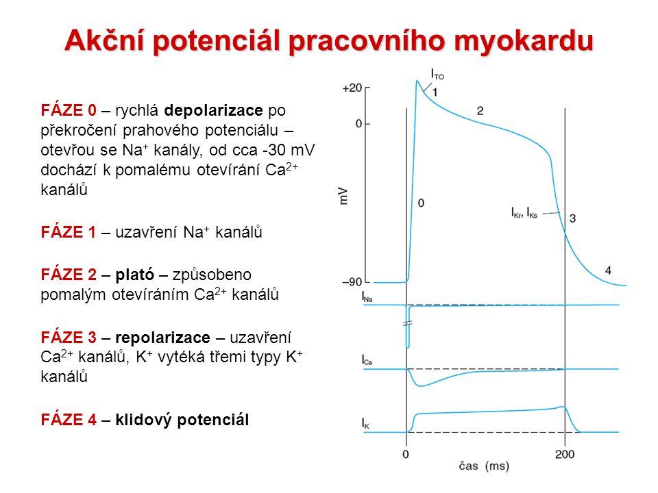 Akční potenciál pracovního myokardu FÁZE 0 – rychlá depolarizace po překročení prahového potenciálu – otevřou se Na + kanály, od cca -30 mV dochází k pomalému otevírání Ca 2+ kanálů FÁZE 1 – uzavření Na + kanálů FÁZE 2 – plató – způsobeno pomalým otevíráním Ca 2+ kanálů FÁZE 3 – repolarizace – uzavření Ca 2+ kanálů, K + vytéká třemi typy K + kanálů FÁZE 4 – klidový potenciál