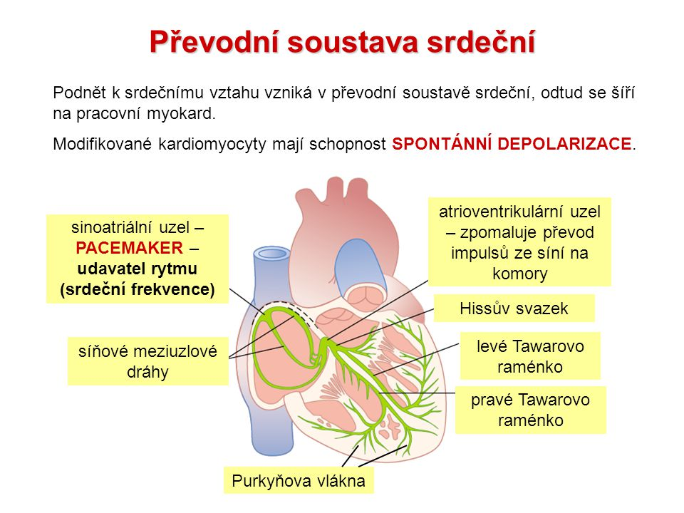 Převodní soustava srdeční Podnět k srdečnímu vztahu vzniká v převodní soustavě srdeční, odtud se šíří na pracovní myokard.