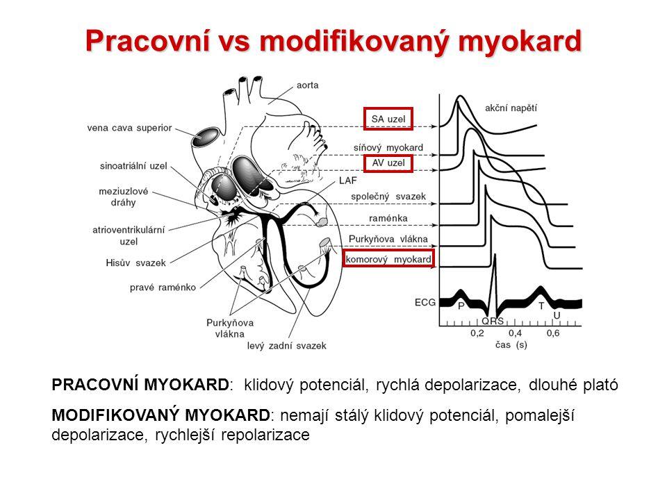 Pracovní vs modifikovaný myokard PRACOVNÍ MYOKARD: klidový potenciál, rychlá depolarizace, dlouhé plató MODIFIKOVANÝ MYOKARD: nemají stálý klidový potenciál, pomalejší depolarizace, rychlejší repolarizace