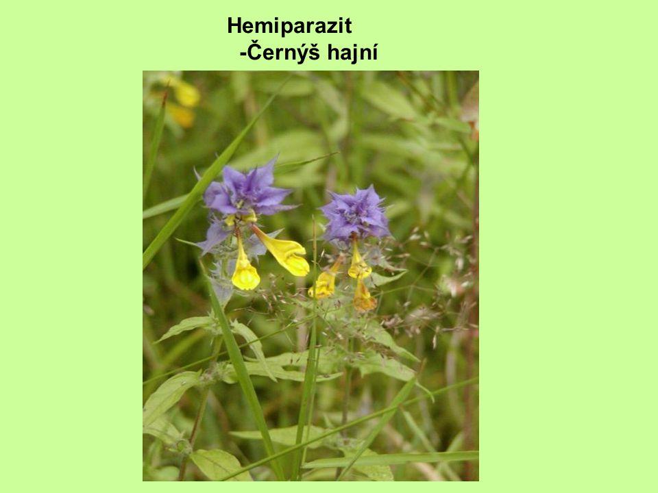 Hemiparazit -Černýš hajní