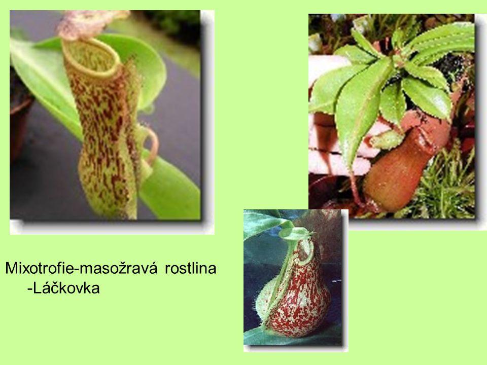 Mixotrofie-masožravá rostlina -Láčkovka