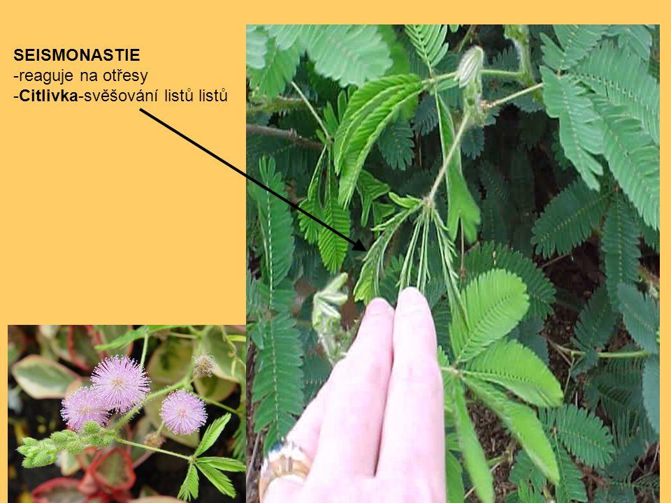 SEISMONASTIE -reaguje na otřesy -Citlivka-svěšování listů listů