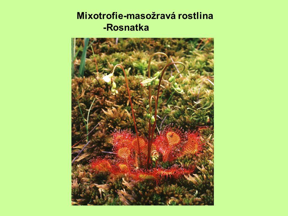 Mixotrofie-masožravá rostlina -Rosnatka