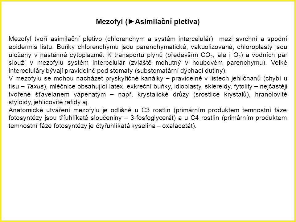 Mezofyl (►Asimilační pletiva) Mezofyl tvoří asimilační pletivo (chlorenchym a systém intercelulár) mezi svrchní a spodní epidermis listu. Buňky chlore