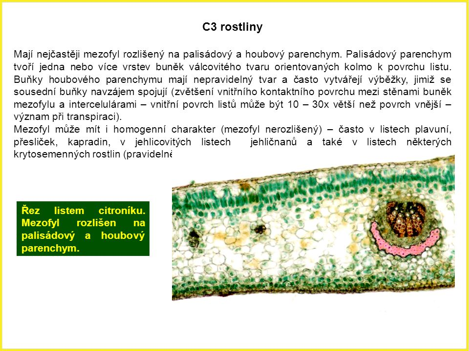 C3 rostliny Mají nejčastěji mezofyl rozlišený na palisádový a houbový parenchym. Palisádový parenchym tvoří jedna nebo více vrstev buněk válcovitého t