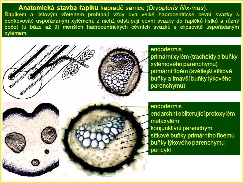 Anatomická stavba řapíku kapradě samce (Dryopteris filix-mas). Řapíkem a listovým vřetenem probíhají vždy dva velké hadrocentrické cévní svazky s podk