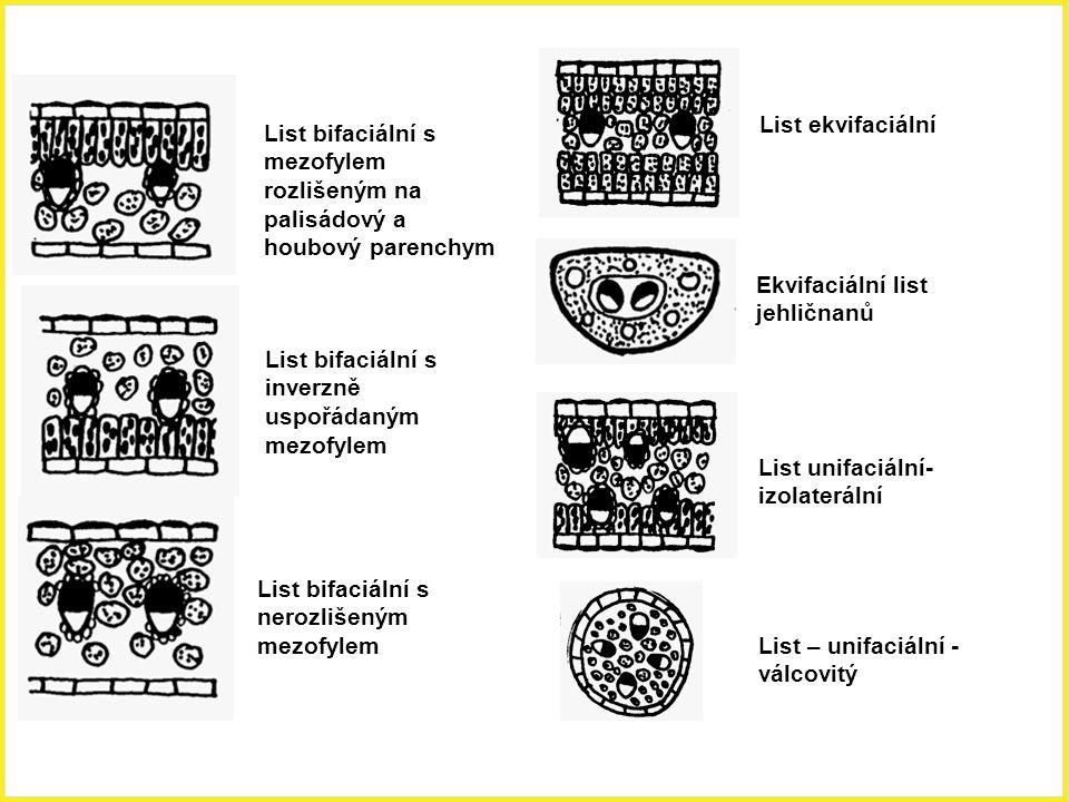 List bifaciální s mezofylem rozlišeným na palisádový a houbový parenchym List bifaciální s inverzně uspořádaným mezofylem List bifaciální s nerozlišen