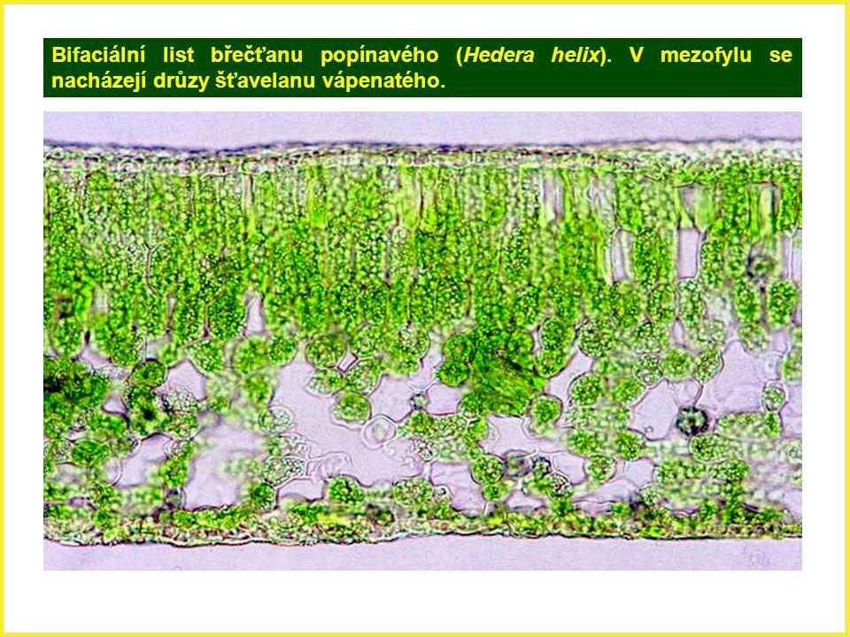 Bifaciální list břečťanu popínavého (Hedera helix). V mezofylu se nacházejí drůzy šťavelanu vápenatého.