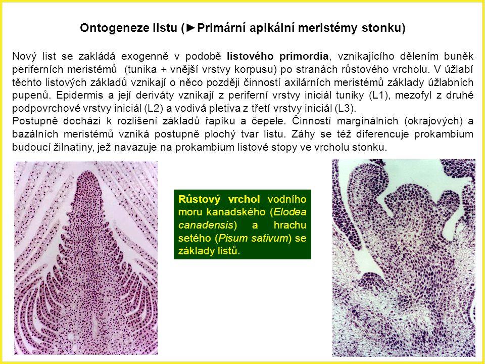 Růstový vrchol vodního moru kanadského (Elodea canadensis) a hrachu setého (Pisum sativum) se základy listů. Ontogeneze listu (►Primární apikální meri