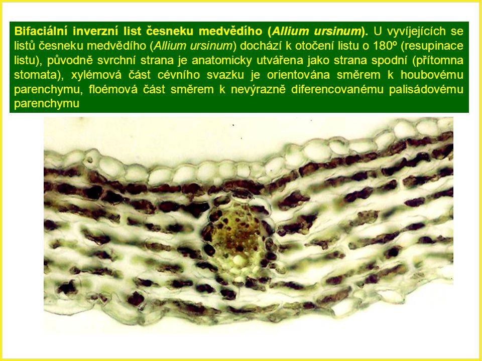 Bifaciální inverzní list česneku medvědího (Allium ursinum). U vyvíjejících se listů česneku medvědího (Allium ursinum) dochází k otočení listu o 180º