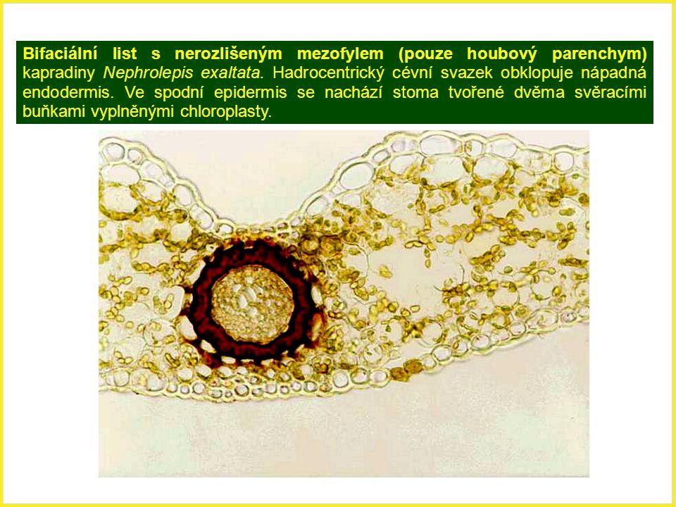 Bifaciální list s nerozlišeným mezofylem (pouze houbový parenchym) kapradiny Nephrolepis exaltata. Hadrocentrický cévní svazek obklopuje nápadná endod