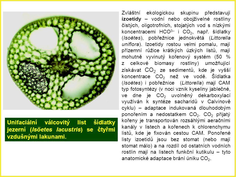 Unifaciální válcovitý list šídlatky jezerní (Isöetes lacustris) se čtyřmi vzdušnými lakunami. Zvláštní ekologickou skupinu představují izoetidy – vodn