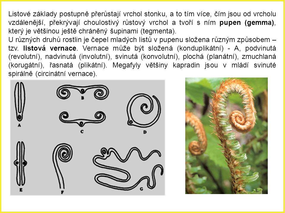 Unifaciální válcovitý list sítiny rozkladité (Juncus effusus).