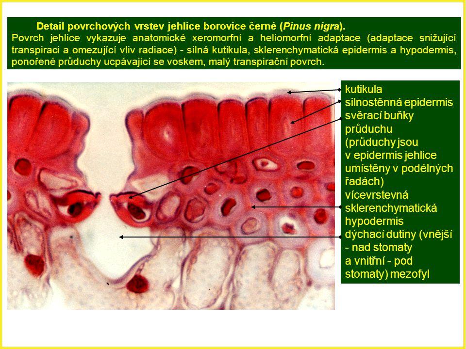 Detail povrchových vrstev jehlice borovice černé (Pinus nigra). Povrch jehlice vykazuje anatomické xeromorfní a heliomorfní adaptace (adaptace snižují