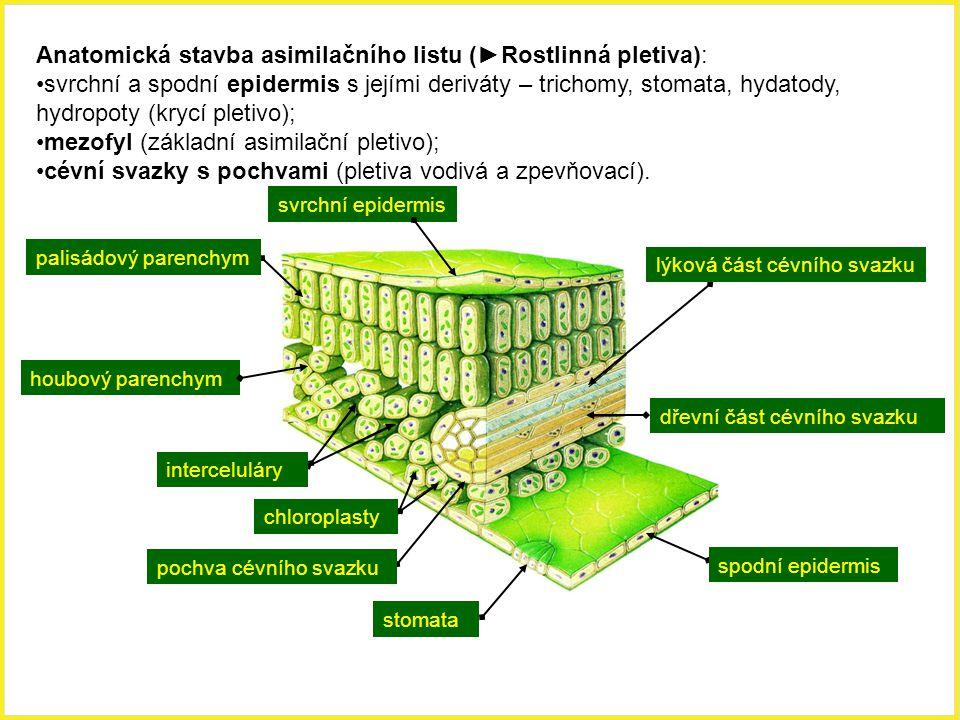 svrchní epidermis Anatomická stavba asimilačního listu (►Rostlinná pletiva): svrchní a spodní epidermis s jejími deriváty – trichomy, stomata, hydatod