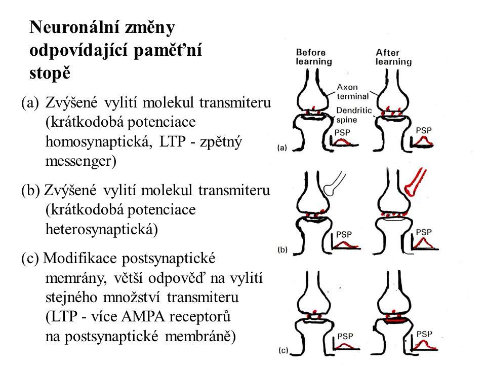 Neuronální změny odpovídající paměťní stopě (a)Zvýšené vylití molekul transmiteru (krátkodobá potenciace homosynaptická, LTP - zpětný messenger) (b) Zvýšené vylití molekul transmiteru (krátkodobá potenciace heterosynaptická) (c) Modifikace postsynaptické memrány, větší odpověď na vylití stejného množství transmiteru (LTP - více AMPA receptorů na postsynaptické membráně)